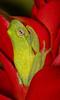 Glass frog 2