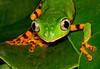 Tiger Leg Monkey Frog 1