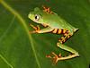 Tiger Leg Monkey Frog 3