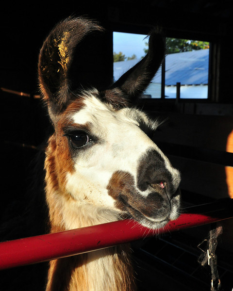 This llama is all ears early Sunday morning October 4th, which was opening day of the 159th annual Fryeburg Fair, which runs through October 11th, 2009.