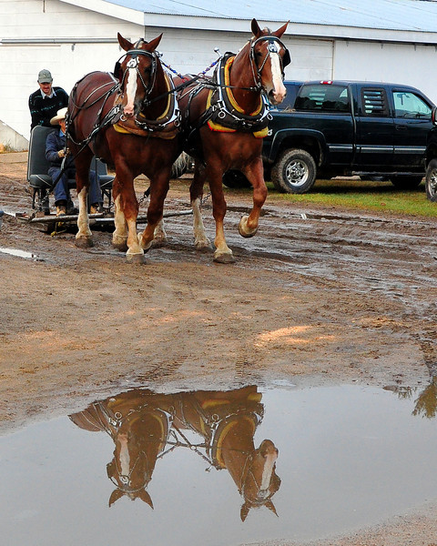 Draft horses in the barn area, early morning at the 159th Fryeburg Fair.