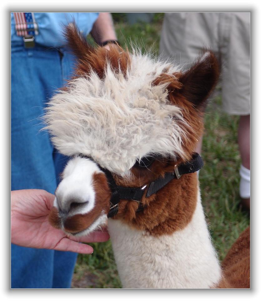 Alpaca at Funny Farm Alpacas, Lecanto, Florida