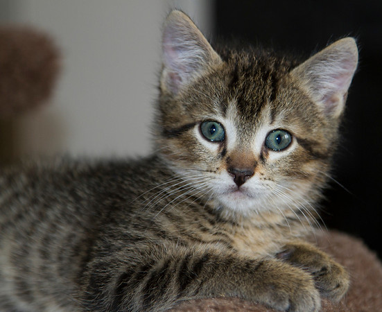 Whiskey, the kitten of many stripes.