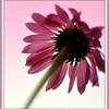 cone flower framed 2009