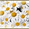 daisys 2009 framed
