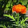 Poppies 5/30/16