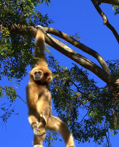 too cool for school. She's so strong and so graceful. There's really nothing like a gibbon.