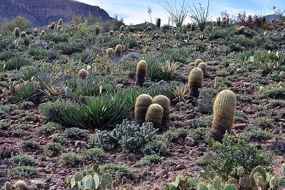 I wish I had such impressive cacti at my house