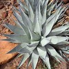 "even though not the ""right kind"" - agaves in this region were used to produce moonshine tequila"