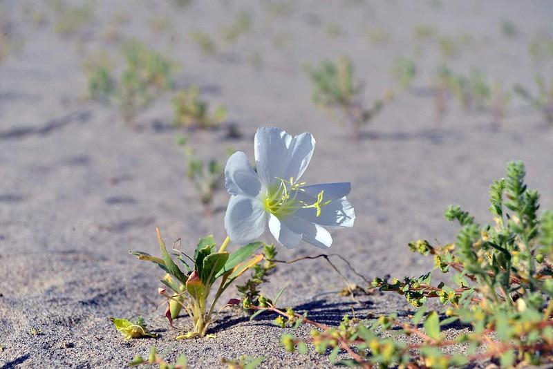 Oneothera deltoides - evening primrose