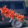 Ocotillo flowers are pretty cool