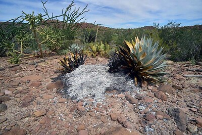 """evidence of spontaneous combustion. This kind only occurs in northern Baja. I witnessed such a fire first hand some years back. Google """"Microbial thermogenesis"""" if you want to learn more"""