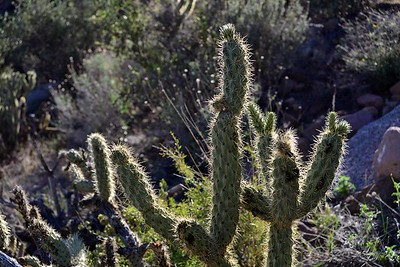 cholla can make your life really miserable - but they sure are pretty