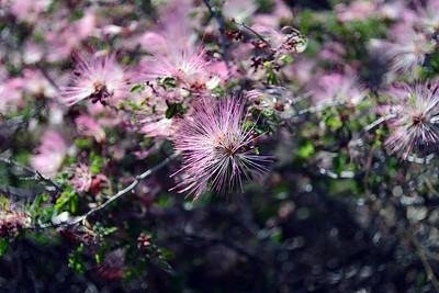 one of my Baja favorites - pink fairy duster (Calliandra eriophylla)