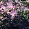 one of my Baja favorites - pink fairy duster (Calliandra eriophylla)