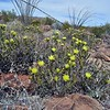 blooming pencil cholla (Cylindropuntia ramosissima)