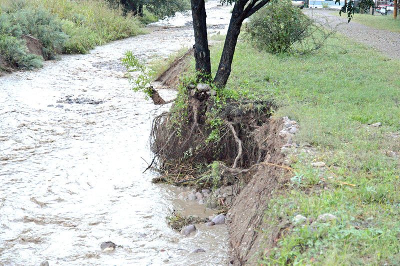 Tree along Holt gulch.Only its roots hold a bit of stream bank in place.