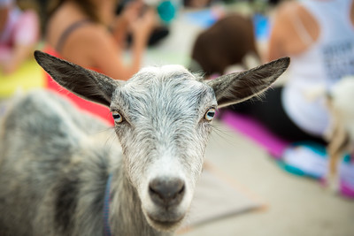 Deep Ellum Goat Yoga July 29