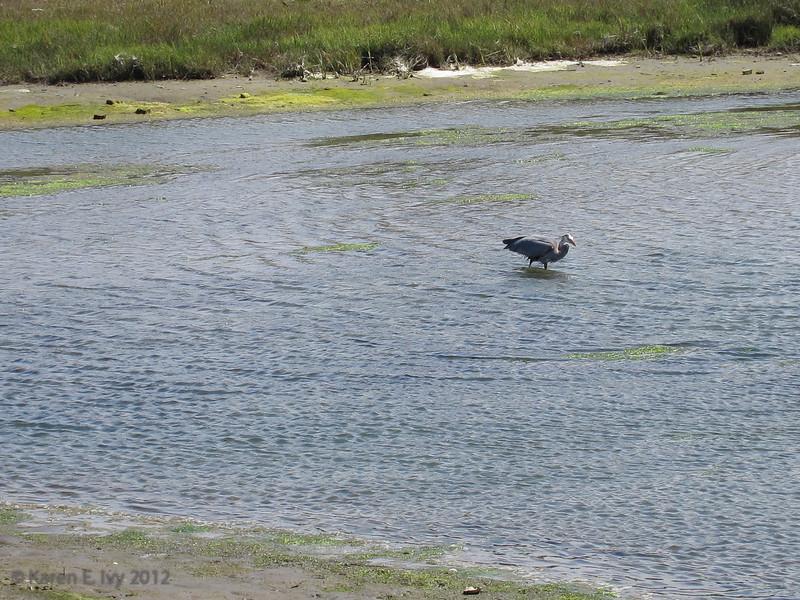 Crissy Field tidal marsh - great blue heron