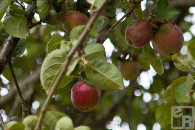 Apples, in Washington