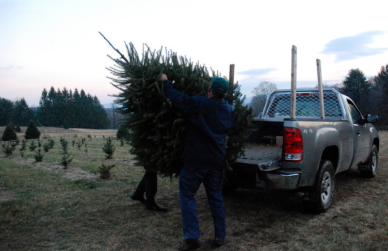 Kayla Rice/Reformer<br /> Governor Peter Shumlin helps to hoist the tree from Elysian Hills Farm in Dummerston that he chose and cut for the Pavilion Office Complex in Montpelier.