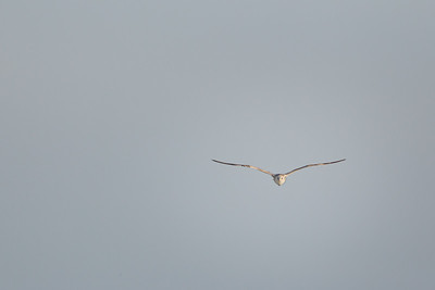 Lone Gull in Flight