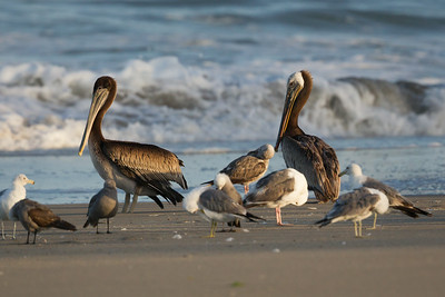 Brown Pelicans with Heerman's Gulls on Beach