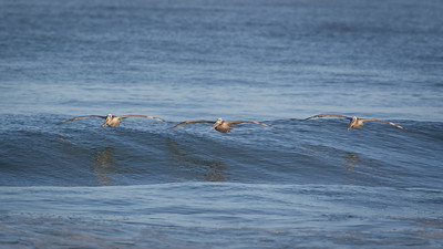 Brown Pelicans Surf the Waves