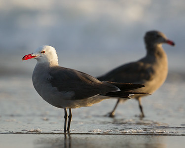 Heerman's Gull, with Juvenile in Background