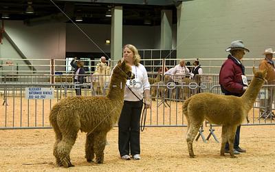 Alpaca  Show at the Houston Livestock Show