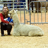Alpaca  Show at the Houston Livestock Show