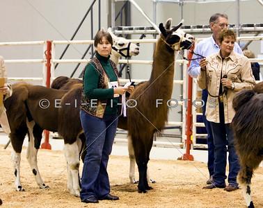 Llama Show at the Houston Livestock Show