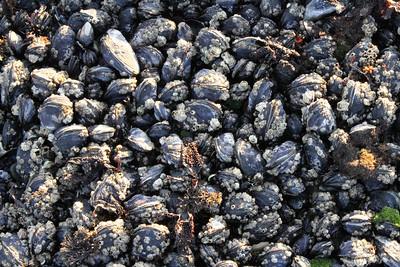 Mussels. Mega Low Tide. Half Moon Bay, CA, USA