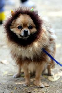 Lion dog?