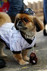 Yankee dog