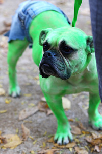 Hulk dog