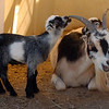 "One of the new baby goats plays with the horn of its mother at Anderson Farms on  Thursday.<br /> For more photos and a video of Anderson Farms, go to  <a href=""http://www.dailycamera.com"">http://www.dailycamera.com</a>.<br /> Cliff Grassmick / October 7, 2010"