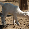 "One of the 8-day old baby goats calls out for mom at Anderson Farms.<br /> For more photos and a video of Anderson Farms, go to  <a href=""http://www.dailycamera.com"">http://www.dailycamera.com</a>.<br /> Cliff Grassmick / October 7, 2010"