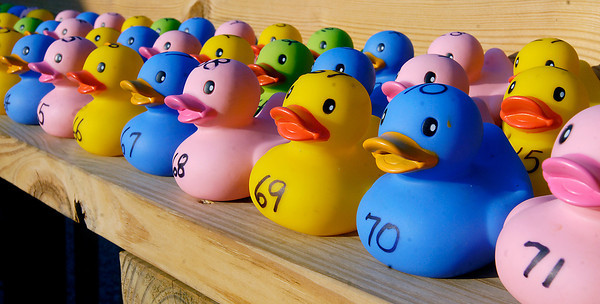 The 75 rubber ducks are lined up ready for players to pick their number for the weekly duck races on Pipe Creek at Halo's Bar and Grill in Alexandria.