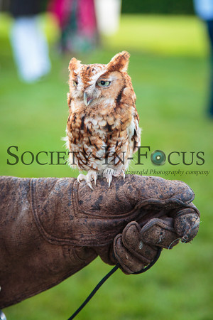 """Martino"" the Eastern Screech Owl"