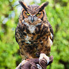 """Kalala"" aka ""Meep"" the Great Horned Owl"