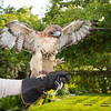 """""""Sonja"""" the Red-Tailed Hawk"""