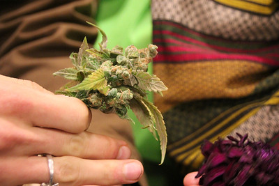 While riding home on BART, a guest from the Cannabis Cup inspecting a plant he received as a gift for attending.