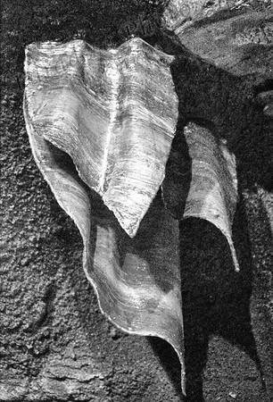 stalagmite leaf  B&W 3131