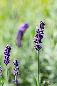 20190710 008 Hope Hill Lavender Farm, LLC