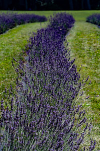 20190710 061 Hope Hill Lavender Farm, LLC
