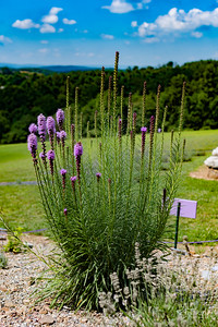 20190710 032 Hope Hill Lavender Farm, LLC