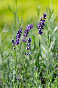 20190710 009 Hope Hill Lavender Farm, LLC