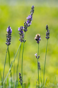20190710 013 Hope Hill Lavender Farm, LLC