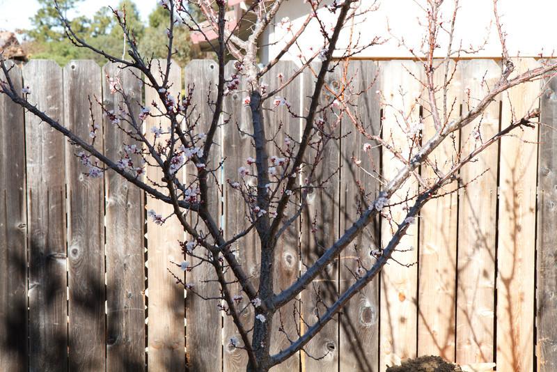 Apricot tree in bloom - Week 3 <br /> Nobody told it it's still winter